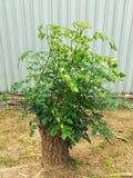 Прорастание ветви после стержня было отрезано Стоковая Фотография