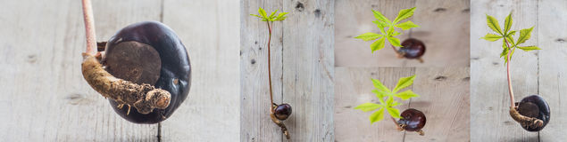 Прорастание дерева плода конского каштана Стоковая Фотография