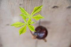 Прорастание дерева плода конского каштана Стоковое Фото