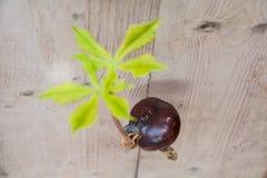 Прорастание дерева плода конского каштана Стоковые Изображения RF