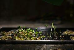 Прорастание настольной лампы освещенной microcline Стоковая Фотография RF