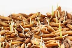 Прорастание семени, рисовая посадка саженцев Стоковая Фотография RF