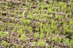 Прорастание сосны в питомнике сосны Стоковое Фото