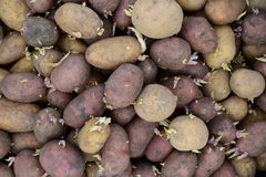 Прорастанные картошки семени Стоковое Фото