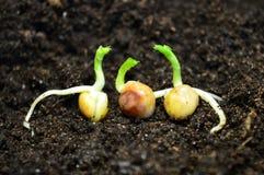Прорастанные семена гороха Стоковая Фотография RF