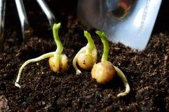Прорастанные семена гороха Стоковые Фотографии RF