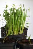 Прорастать заводы в баках Подготовка на весенний сезон в саде стоковая фотография rf