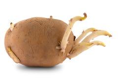 Прорастать картошка на белизне Стоковая Фотография RF