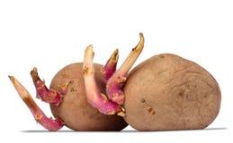 Прорастать картошки на белизне Стоковое Изображение RF