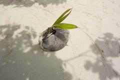 Прорастать кокос Стоковые Фото