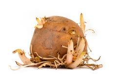 Прорастать клубень картошки на белой предпосылке Стоковое фото RF