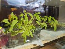 Прорастать семена дома Стоковые Фотографии RF
