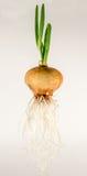 Прорастать лук с зелеными стручками и длинными корнями стоковые изображения rf