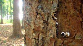 Просачивается раковина найденная на дереве Стоковое Фото