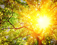 Просвечивающее солнце через ветви stile instagram дуба Стоковые Изображения
