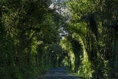 Проселочная дорога покрытая сочными деревьями Дорога тоннеля дерева Стоковое фото RF