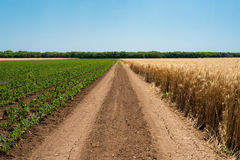 Проселочная дорога между полями пшеницы и перцем Стоковые Изображения