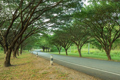 Проселочная дорога до конца с saman Samanea или большим деревом дождя Стоковые Изображения