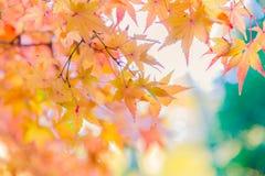 Просмотр красочных листьев осени Momiji Стоковое Изображение RF