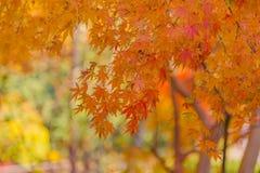 Просмотр красочных листьев осени Momiji Стоковые Изображения RF