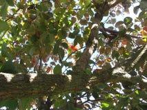 Просмотр через листья осени дерева хурмы цветы абстрактной осени яркие понижаются красный цвет картины листьев славный semi стоковые изображения rf
