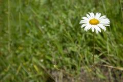 Простая картина предпосылки фото цветка стоцвета в участке земли травы стоковое изображение rf