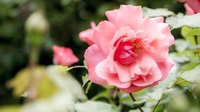 Простая роза пинка глубокая Стоковое Изображение