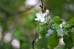Простое фото натюрморта весны цветет на дереве Стоковое Изображение RF