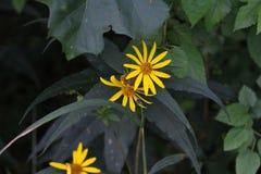 Простой желтый цветок Стоковые Фото
