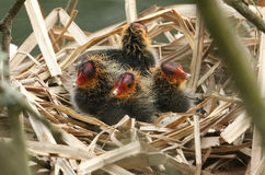 Простофили младенца, atra Fulica, сидя на их гнезде Стоковые Фото