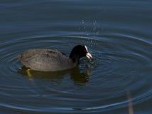 Простофиля делает волны в спокойной воде - atra Fulica Стоковые Фото
