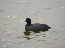 Простофиля птицы на воде Стоковое Фото