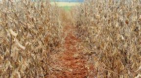 Пространство между заводы сои на плантации фермы Стоковые Фотографии RF
