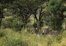 Простые зебры в morningly саванне на ложе игры Ezulwini Стоковое фото RF