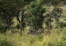 Простые зебры в morningly саванне на ложе игры Ezulwini Стоковые Изображения RF