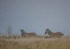 Простые зебры в morningly саванне на ложе игры Ezulwini Стоковые Фото