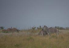 Простые зебры в morningly саванне на ложе игры Ezulwini Стоковые Изображения