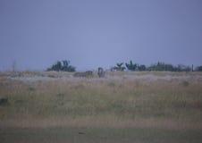 Простые зебры в morningly саванне на ложе игры Ezulwini Стоковое Изображение RF
