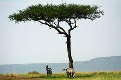 Простые зебры, запас игры Maasai Mara, Кения Стоковые Фото