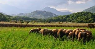 Простые овцы rocchetta пася Стоковое фото RF