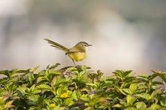 Простые птицы Prinia Стоковые Фото