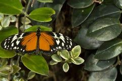 Простый тигр Стоковое Изображение