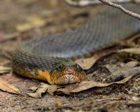 Прост-bellied конец змейки воды вверх в высушенных листьях Стоковые Фотографии RF