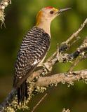 противостоят золотистый мыжской woodpecker Стоковое Изображение RF