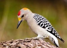 противостоят золотистый woodpecker Стоковое Фото