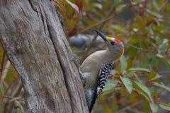 противостоят золотистый мыжской woodpecker Стоковые Изображения RF