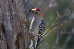 противостоят золотистый woodpecker Стоковые Изображения RF