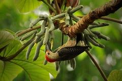 противостоят золотистый woodpecker Стоковые Фото
