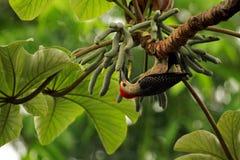 противостоят золотистый woodpecker Стоковое Изображение RF