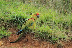 противостоят красный цвет macaw стоковые фото